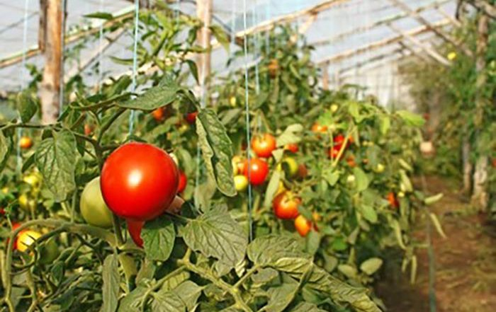 Close-up picture of tomatoes being grown in a greenhouse