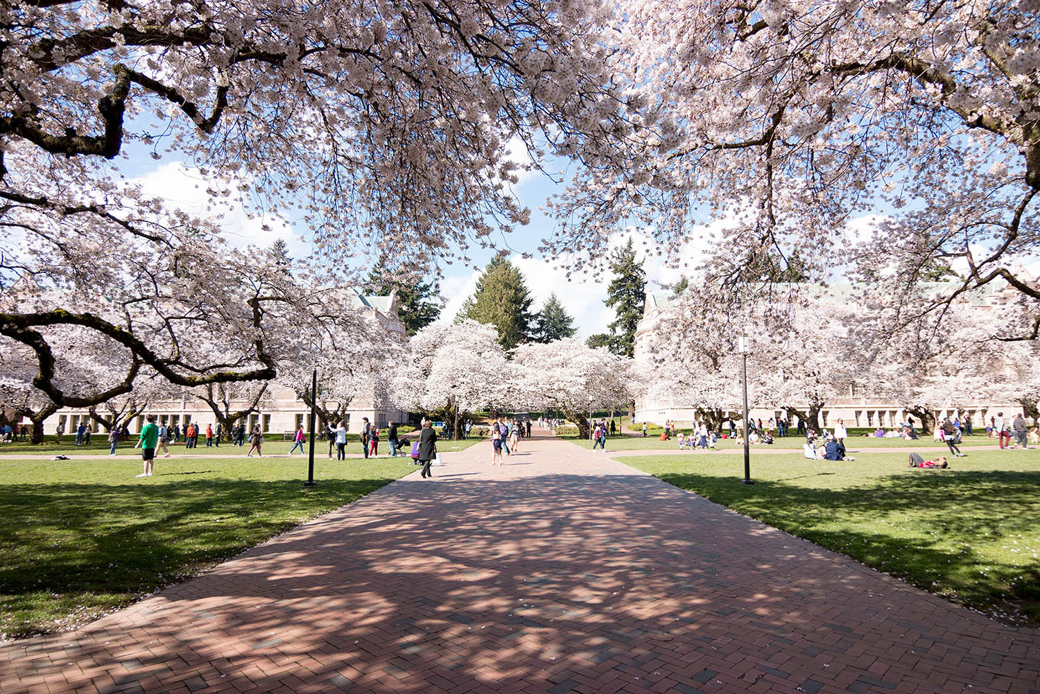 Photo of cherry blossoms and trees hanging over the University quad