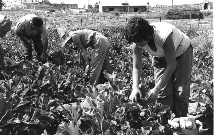 Black-and-white photo showing workers in casual clothing picking squash in a field.