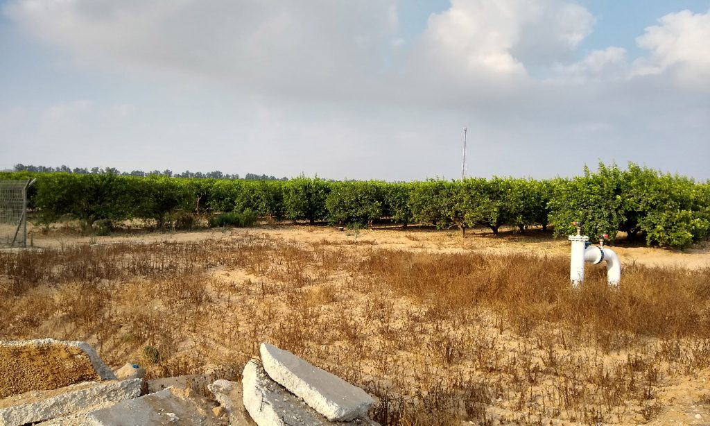 Rows of green lemon trees growing in light-colored soil, a large water spigot visible nearby